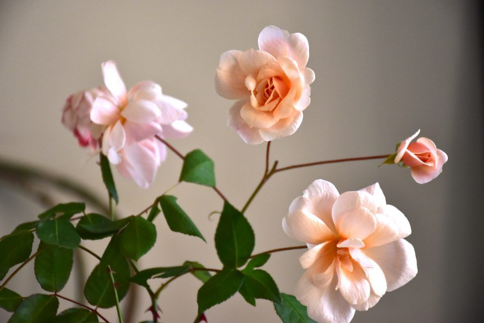"""Rosa """"Perle D'or"""""""
