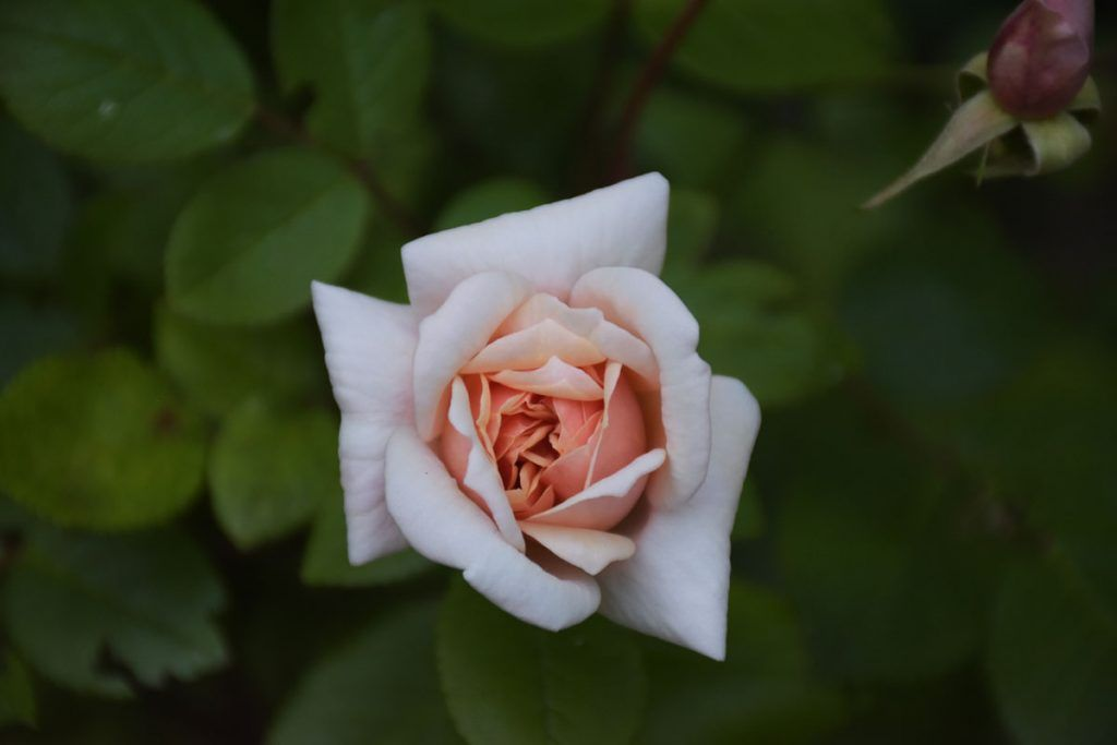 """Rosa """"Perle D´Or"""""""